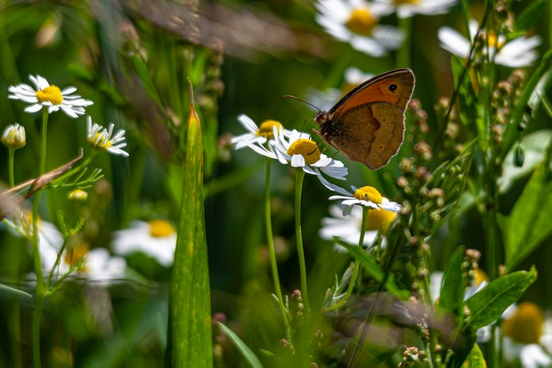 The butterfly is a Maniola, it was fluttering about in a meadow near to me in the U.K.