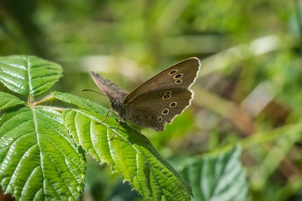 Ringlet Butterfly, Getty