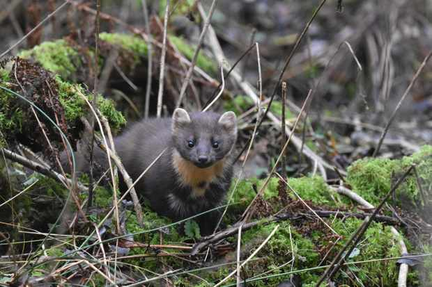 Pine martens show a preference for non-native grey squirrels over native red squirrels