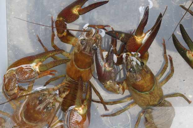 Catching crayfish may hamper control of invasive species