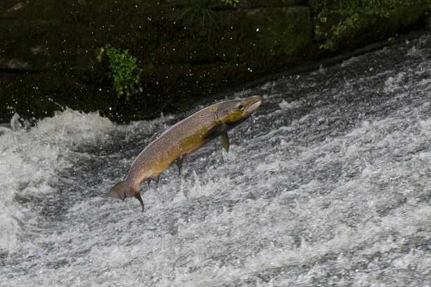 Scientists raise concerns about captive-bred salmon in the wild