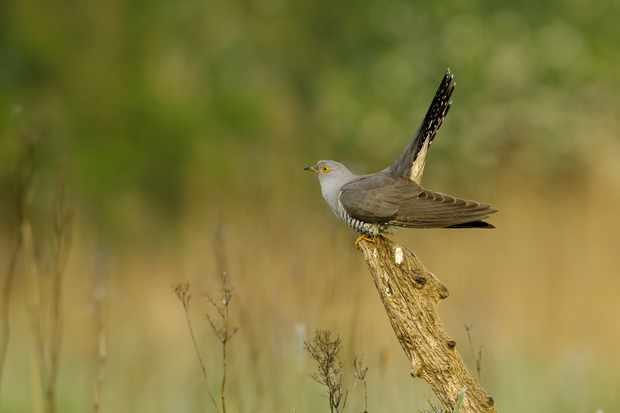 Discover the mysterious lives of cuckoos in a Cambridgeshire fen