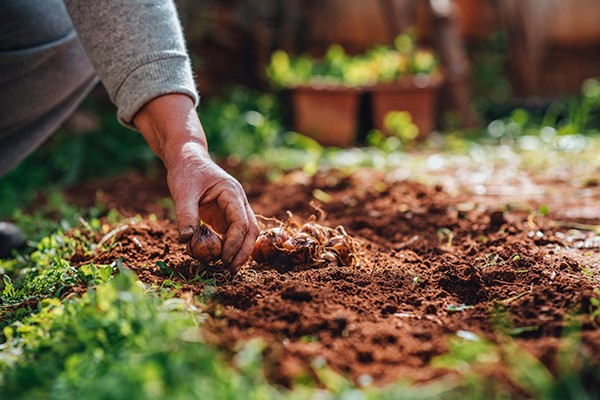 Close up of woman's hand planting bulbs in crumbly brown soil