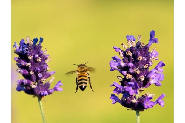 Honey bee in flight by lavender