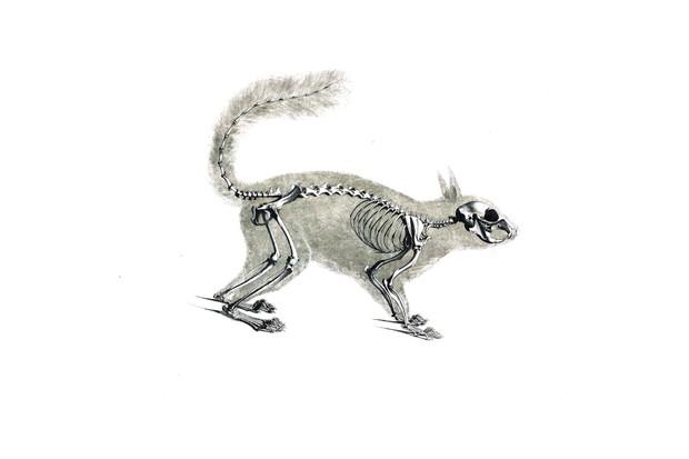 Illustration of squirrel skull and skeleton