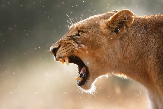 Lioness snarling in the rain
