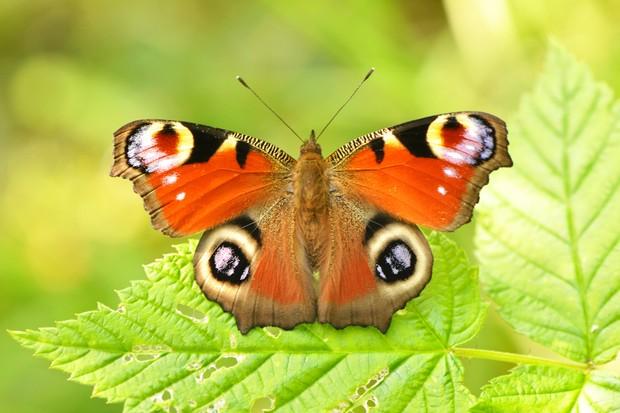 Peacock Butterfly (Aglais io)