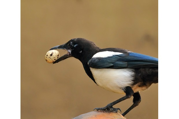 How to identify bird egg thieves - Discover Wildlife