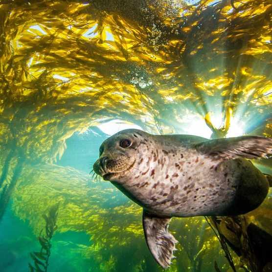 Common seal diving in a kelp forest. © Douglas Klug/Getty