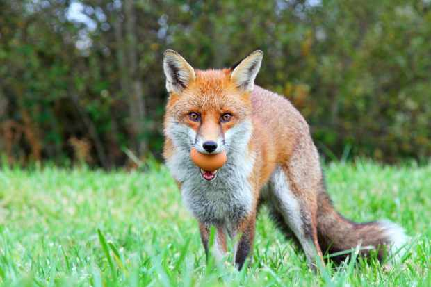 Red fox (Vulpes vulpes) with a chicken egg in its mouth, looking directly at the camera