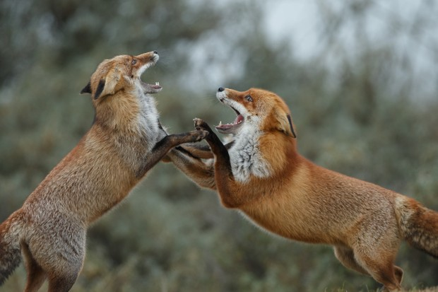 A pair of adult red foxes fighting