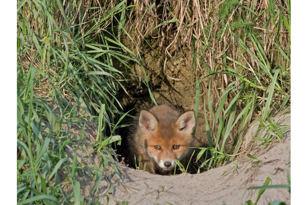 Red fox cub emerging from its burrow