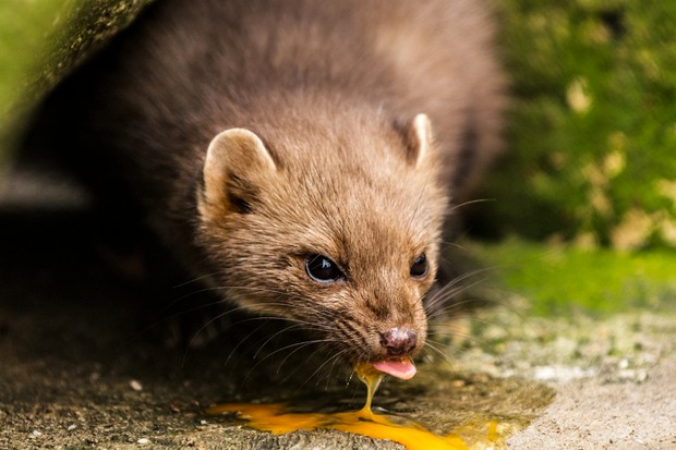 Pine marten licking egg yolk from a rock in the forest after stealing and smashing bird egg