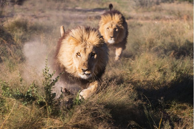 Two adult male lions charging at full speed towards the camera