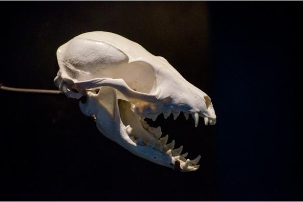 Weasel skull