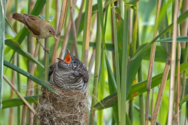 Cuckoo (Cuculus canorus) chick being fed by its Reed Warbler host bird (Acrocephalus scirpaceus), brood parasite