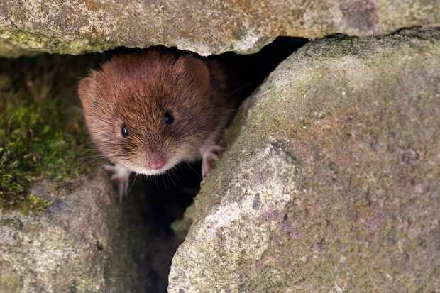 Bank vole peering out of hole in a wall