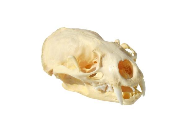 Otter skull
