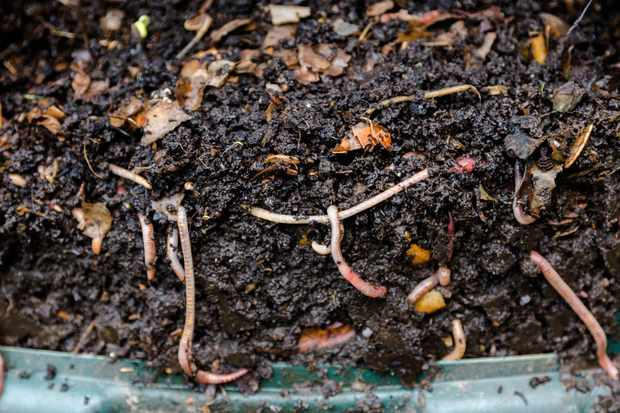 Eartworms in natural compost. © Tommy Lee Walker/Getty