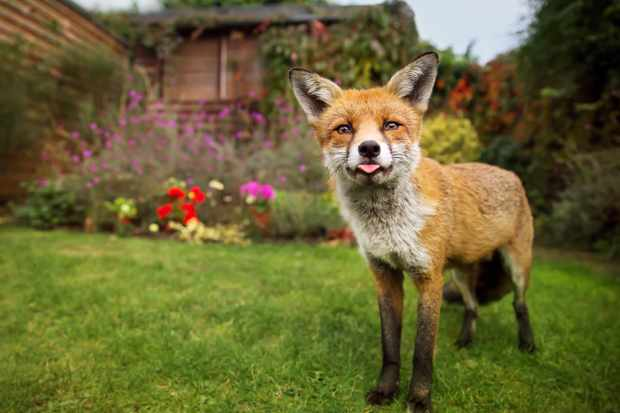 Urban fox visiting a garden © DGWildlife / Getty