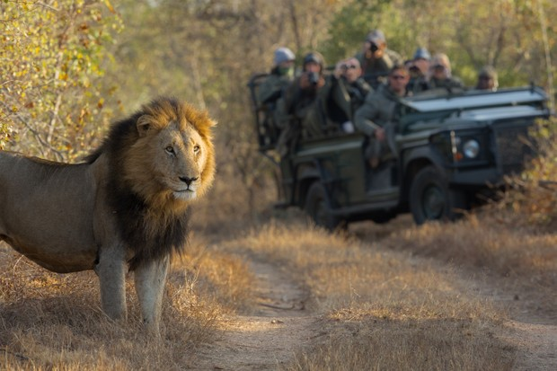 Lion in front of a safari jeep