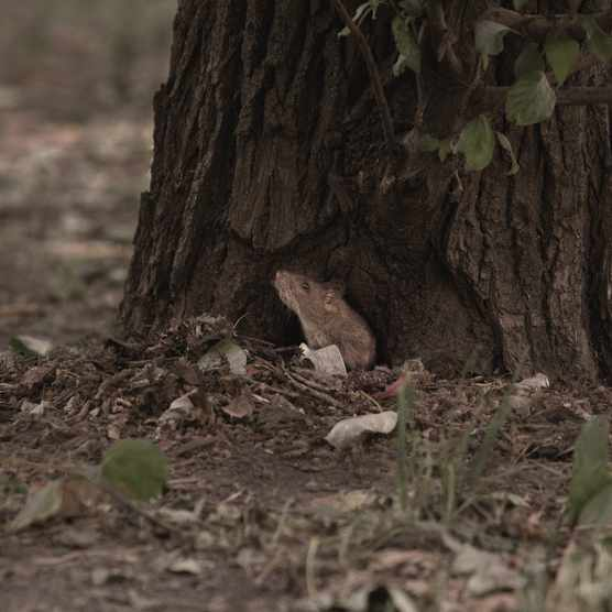 A wild rat sniffing the air outside his burrow at the base of a tree
