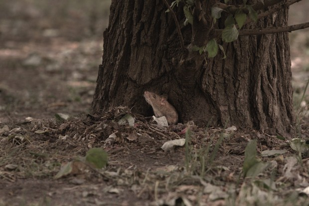 A wild rat sniffing the air outside his burrow at the base of a tree in the forest