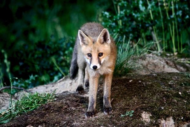 Wild fox cub © Diana Grant / Getty