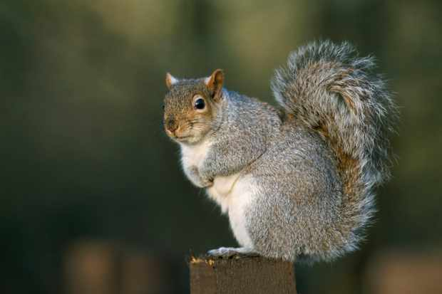 Grey squirrel at Leighton Moss, RSPB Reserve, Silverdale, Lancashire.