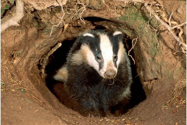 Eurasian badger (Meles meles) emerging from sett, England