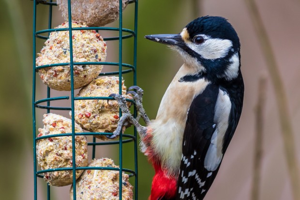 Great spotted woodpecker on feeder.
