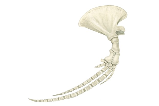 Whale limb. © Sandra Doyle/The Art Agency