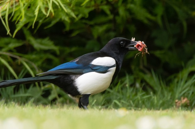 Eurasian magpie (Pica pica) eating a bird chick