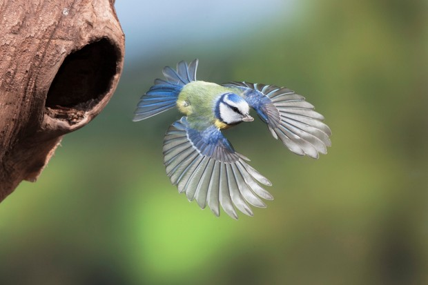 An adult blue tit (Parus caeruleus) flying from hole in tree