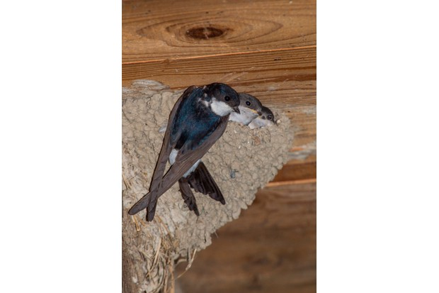 House martin (Delichon urbicum) feeding chicks at the nest