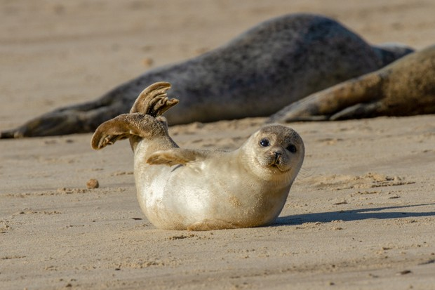 Common seal pup on the beach as part of the seal colony at Horsey, Norfolk, UK