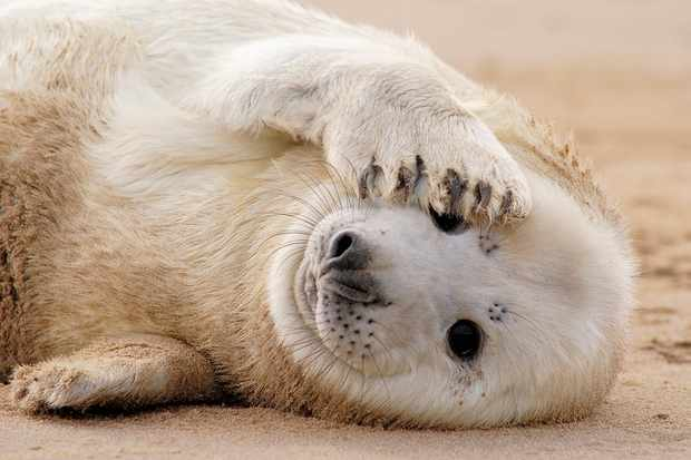 Grey seal (Halichoerus grypus) pup covering its face with one of its flippers on the beach. © Marcos G Meider/Getty