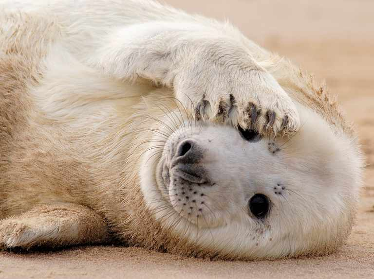 How to tell the difference between grey and common seals