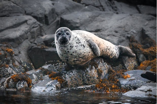 Harbour seal sat on a rock in the bay of Plockton, in the Scottish Highlands. Also known as harbor seal or common seal