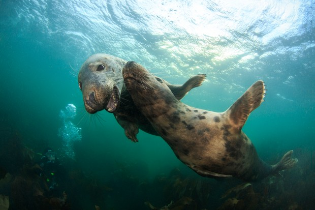 Grey seals swimming up close to a diver
