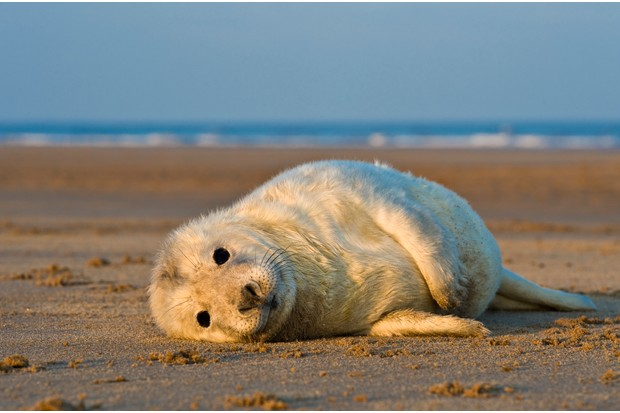Grey seal (Halichoerus grypus) pup lying on beach, close-up