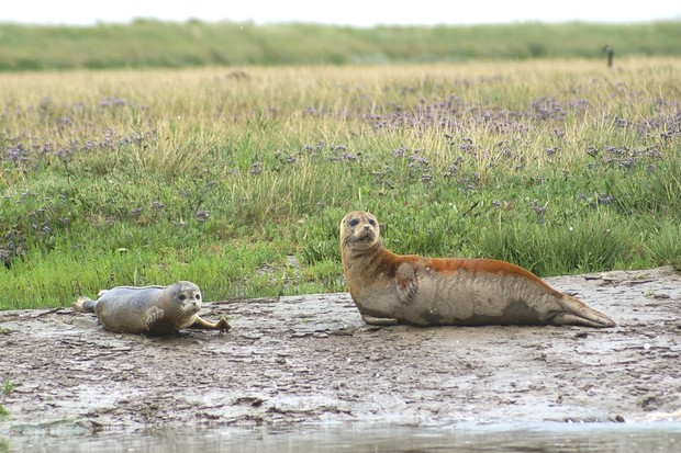 Common seal and pup on the River Thames. © Graham Mee/RSPB