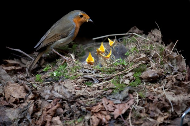 European Robin (Erithacus rubecula) at nest with chicks in garden barbecue