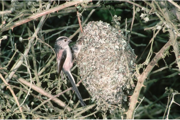 Long-tailed tit at nest