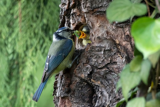 Blue Tit (Cyanistes caeruleus), Adult with larva in nest feeding a chick in spring