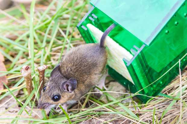 Mouse released from humane mouse trap © Evergreen Planet / Getty