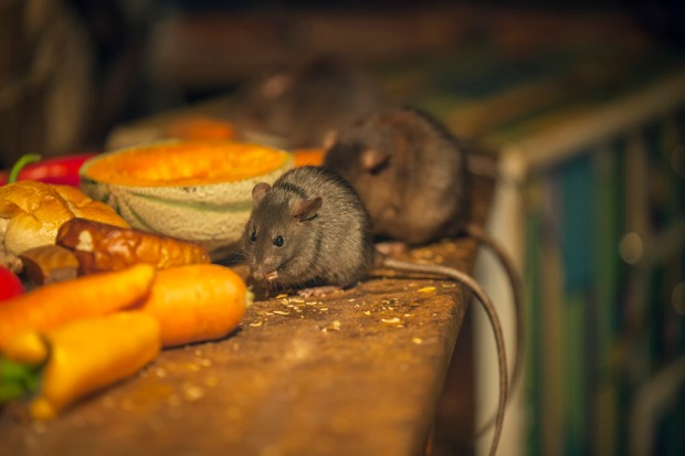 Rats eating food left out in a messy kitchen