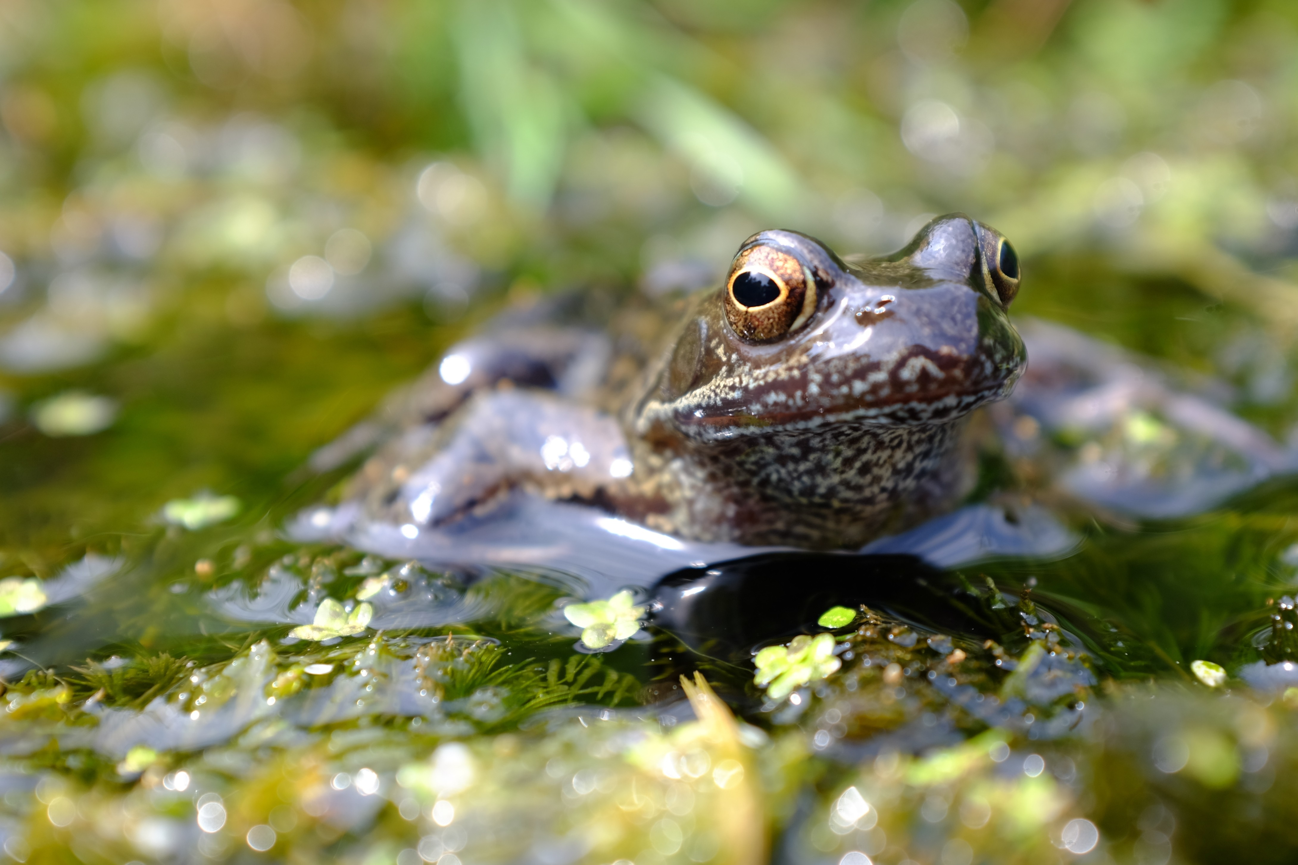 Common frog sitting on pond weed in the sunshine © Alasdair James / Getty