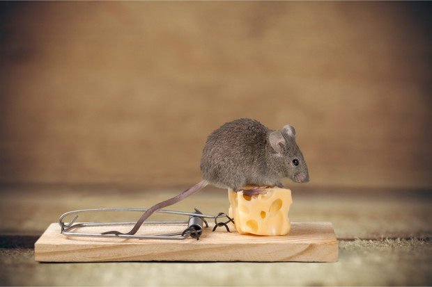 Live mouse on a mouse trap