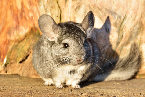 Chinchillas have particularly long whiskers relative to their size